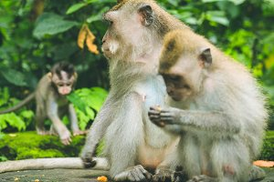 Long-tailed macaque with young ones on forage. Macaca fascicularis, in Sacred Monkey Forest, Ubud, Indonesia