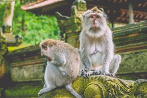 Sadly looking Long-tailed Macaque Monkey in the Monkey forest in Bali