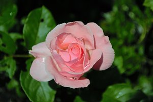 Pink Rose with Water