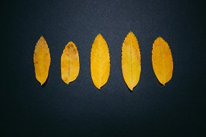 Yellow leafs on black texture