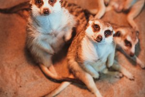 Many meerkats are played and lie on the sand