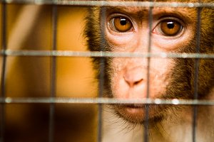 sad fluffy monkey in a cage sits