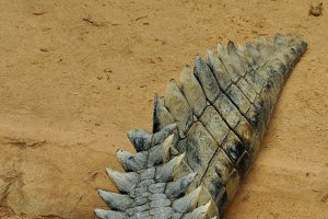 Crocodile Tail