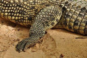 Nile Crocodile Claws