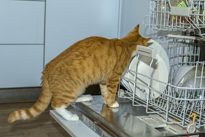 Cat licking plates in dishwasher