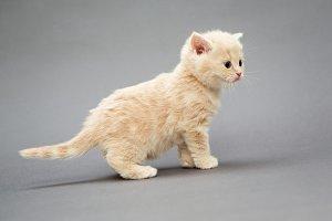 Little kitten British