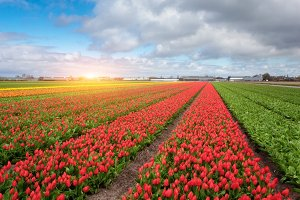 Rows of blooming red and yellow tulips
