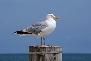 Seagull on a Wood Pole