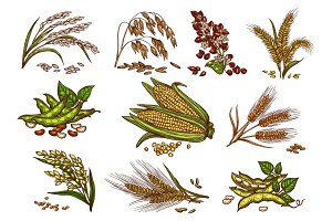 Grain and cereals vector isolated icons