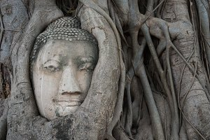 Head of Buddha statue in tree
