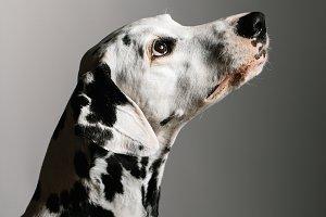 Purebred Dalmatian in studio