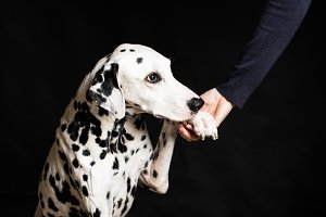 Beautiful Dalmatian on black