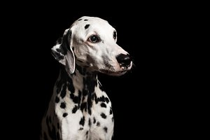 Beautiful Dalmatian on black