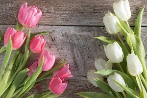 Picture Perfect Tulips Photo