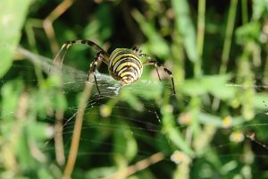 wasp spider sitting on a web green background