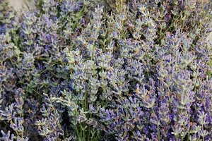 Lavender grows in the garden close up