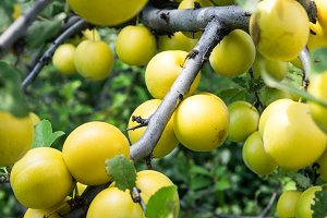 branch with yellow cherry plum close up