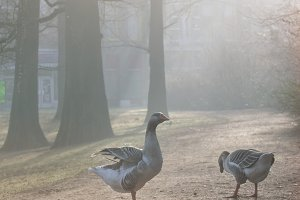 Two geese in a misty park