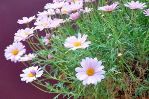 half clay pot with pink daisies