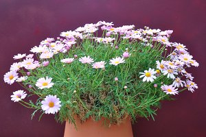 Clay pot with pink daisies