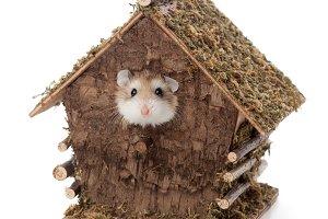 Roborovsky hamster