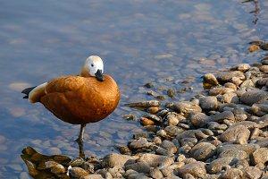 Ogar, varvanka - red duck