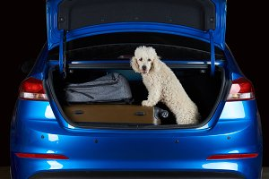 Happy white poodle in car trunk