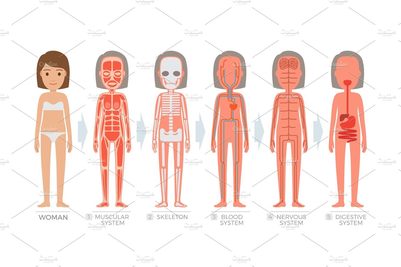 Woman Anatomy System And Structure Of Human Body Illustrations