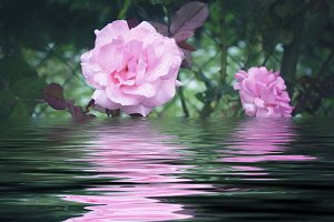 Roses in the garden on the reflection of water