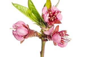 Peach flower isolated