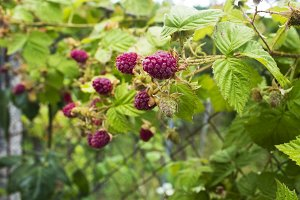 Branch of raspberries on green background