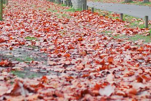 Walk among the trees and red leaves