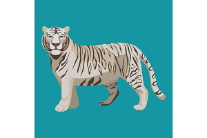 White or bleached tiger isolated on white. Predator rare animal