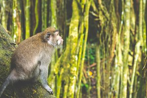 Long-tailed macaques sitting on an Tree, Macaca fascicularis, in Sacred Monkey Forest, Ubud, Indonesia