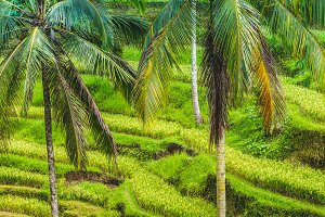 Close up of Beautiful Huge Palm Tree in Amazing Tegalalang Rice Terrace fields, Ubud, Bali, Indonesia