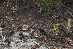 Canarian lizard