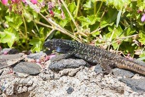 Canarian lizard basking