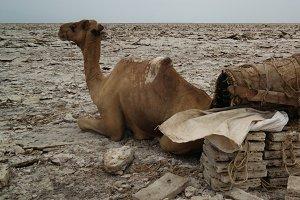 Transportation of salt slabs camel, Karum lake, Danakil, Afar Ethiopia