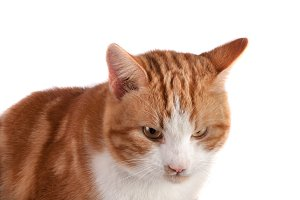 portrait of red cat looking away isolated on white background