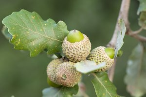 acorns in the tree