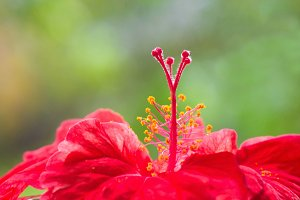 Close up pf red hibiscus head