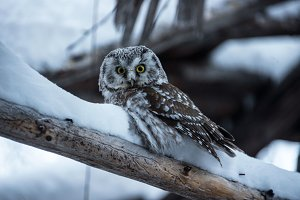 Owl in winter