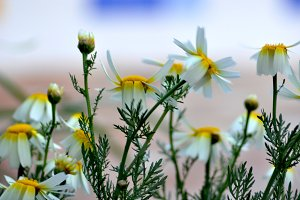 Wild daisies and wind