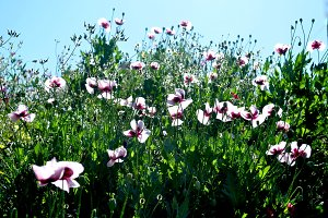Wild opium poppy field