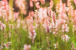 Pink wilflowers