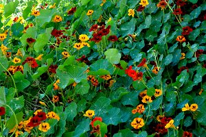 Nasturtiums flowers field