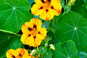 Yellow nasturtiums chain
