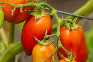 Paste or plum tomatoes