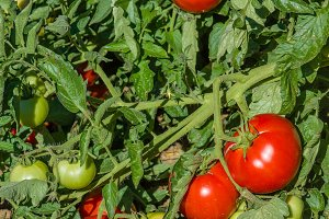 Tomato plant with red tomatoes