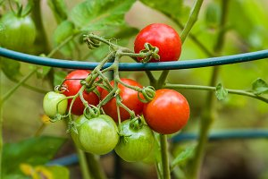 Cherry tomatoes on a support